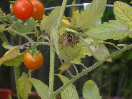 Spider having lunch by tomatoes