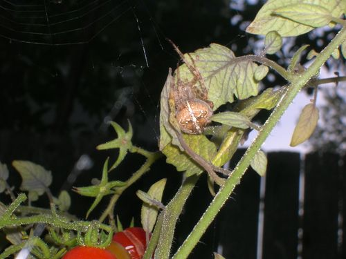 Spider guarding tomatoes #2