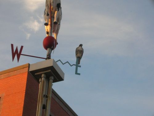 Hawk in Davis Square